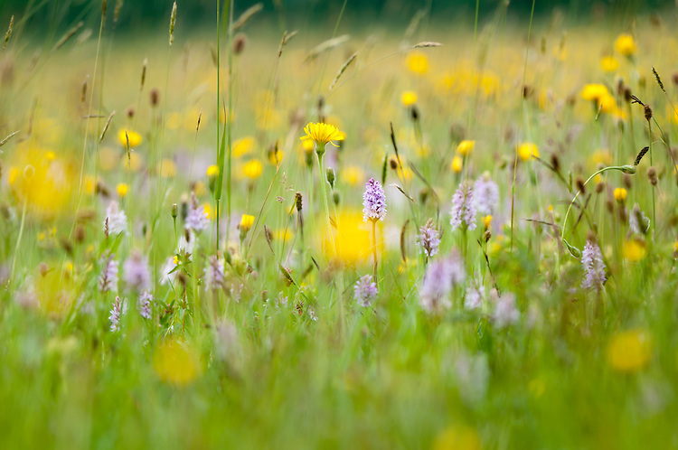 superb lowland hay meadow featuring many common spotted orchids , Dactylorhiza fuchsii, and hawkbit bit species , Leontodon species - Clattinger farm, Wiltshire. This habitat has been reduced in the UK through intensified farming by 98% since the second world war and is highly endangered.