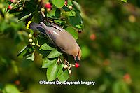 01415-03112 Cedar Waxwing (Bombycilla cedrorum) eating berry in Serviceberry Bush (Amelanchier canadensis), Marion Co., IL
