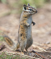 A chipmunk stands briefly on its hind legs to get a better view.
