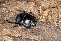 Pillendreher, Mistkäfer, Scarabäus, Scarabaeus laticollis, Ateuchetus laticollis, Scarab dung beetle, Dung beetle, Korsika, Corsica