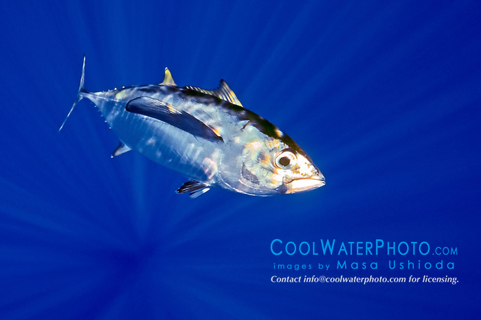 bigeye tuna or ahi in Hawaiian, Thunnus obesus, juvenile, shibi or shibiko in Hawaiian, offshore, Kona Coast, Big Island, Hawaii, USA, Pacific Ocean