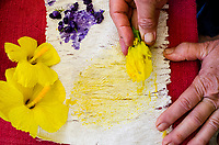 Kapa making on the Big Island: A kapa maker tests two dye plants, 'uki'uki berries and ma'o hau hele flowers, for color by rubbing them onto kapa.