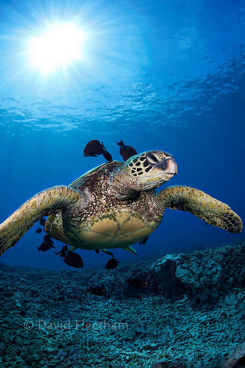 A green sea turtle, Chelonia mydas, an endangered species, hovers at a cleaning station off West Maui, Hawaii.