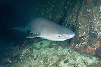 Sixgill shark with facial scars, Hexanchus griseus, Saanich Inlet, Vancouver Island, British Columbia, Canada, Eastern Pacific.