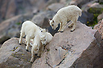 Rocky Mountain Goat kids climbing on rocks