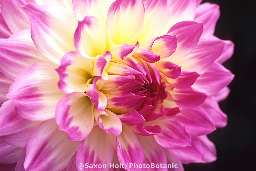 Dahlia - 'April Dawn' (close-up)