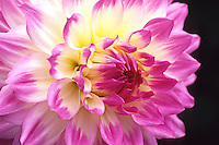 Dahlia - 'April Dawn' (close-up)