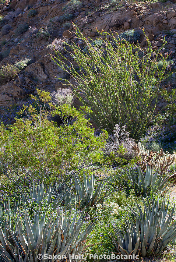 Desert landscape as garden with Creosote Bush (Larrea tridentata), Desert Agave, and Ocotillo (Fouquieria splendens) and wildflowers, California native plant Anza Borrego State Park