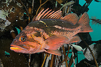 QX72102-D. Copper Rockfish (Sebastes caurinus). Washington, USA, Pacific Ocean.<br /> Photo Copyright &copy; Brandon Cole. All rights reserved worldwide.  www.brandoncole.com