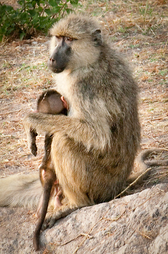 For the first month, an infant baboon stays in very close contact with its mother. The mother carries the infant next to her stomach as she travels, holding it with one hand. By the time the young baboon is five to six weeks old, it can ride on her back -- hanging on by all four limbs. In a few months it rides jockey style, sitting upright. Between 4 and 6 months the young baboon begins to spend most of its time with other juveniles.