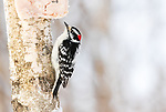 Male downy woodpecker about to peck on some deer fat nailed to a woodland tree in northern Wisconsin.