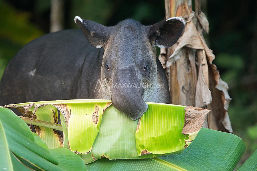 The prehensile snout of the Baird's tapir helps it grasp food.