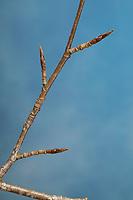 Buche, Rot-Buche, Rotbuche, Knospe, Knospen, Fagus sylvatica, Common Beech, European beech, beech, bug, bugs, Le hêtre commun