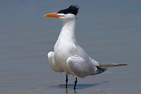 Royal Tern - Sterna maxima. Adult in breeding plumage