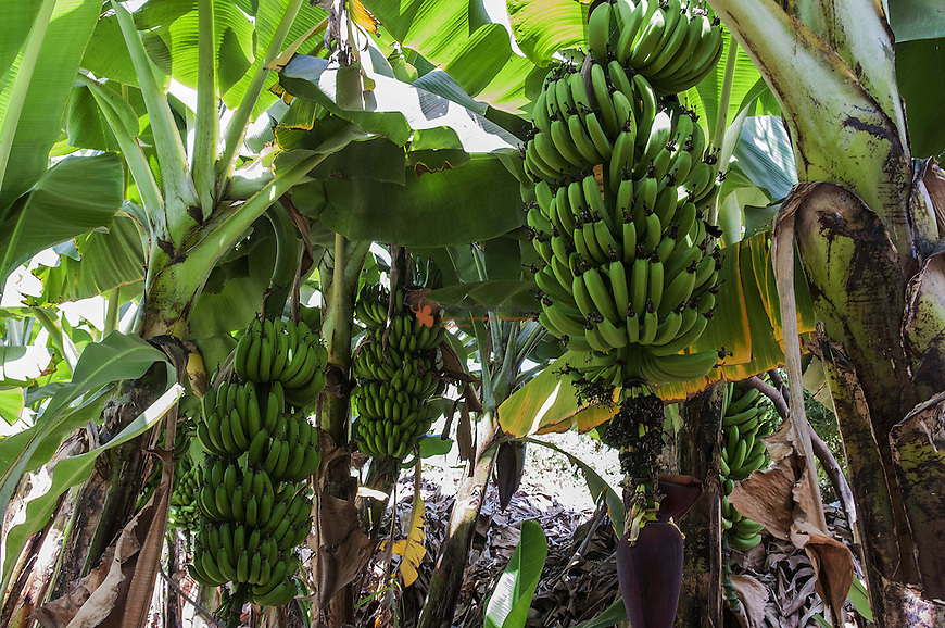 Banana crops with drop by drop irrigation
