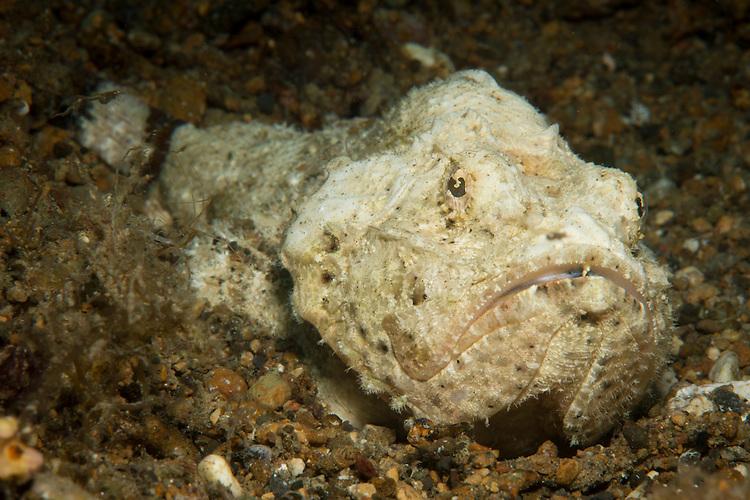 Humpback Scorpionfish (Scorpaenopsis diabolus)