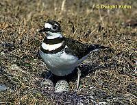 1K04-004z  Killdeer - adult sitting on eggs - Charadrius vociferus