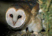 Barn Owl (Tyto alba) on the ground (in captivity)