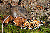 Deer Mouse (Peromyscus maniculatus) finds and rejects dead monarch butterfly (Danaus plexippus) as food because of orange warning color. North America..