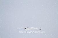 00817-00615 Gyrfalcon (Falco rusticolus) white phase in flight in snow Churchill Wildlife Management Area Churchill MB