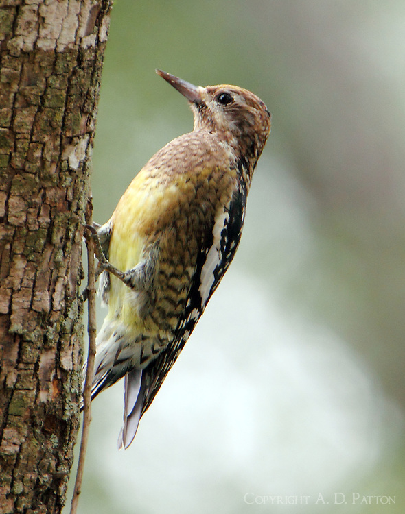 Immature yellow-bellied sapsucker