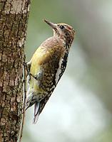 Immature yellow-bellied sapsucker