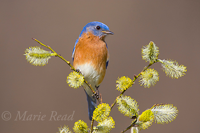 Eastern Bluebird (Sialia sialis), male perched amid pussy willow (Salix discolor) catkins, New York, USA