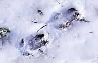 Wildschwein, Wild-Schwein, Schwarzwild, Spur, Trittsiegel, Fußabdruck, Fußspur im Schnee, Sus scrofa, wild boar, pig