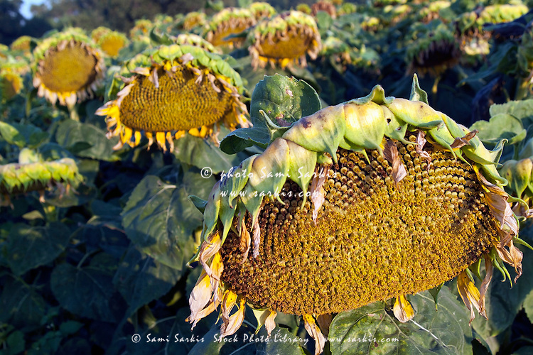 Dying sunflowers in field, Aude, Alzonne, Carcassonne, France.