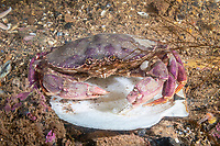 Atlantic Rock Crab, Cancer irroratus, Eastport, Maine, USA, Atlantic Ocean, feeding on scallop.