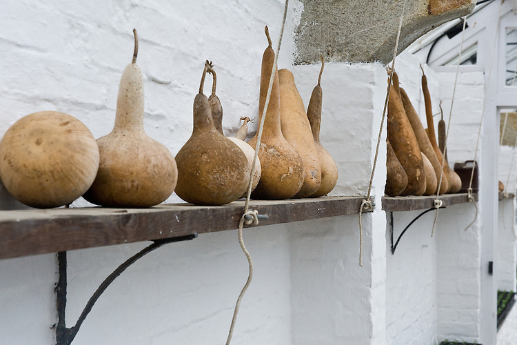 Dried gourds, greenhouse, Heligan, Cornwall, mid February.