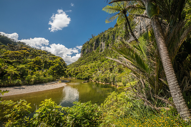 Ferns and nikau palms along the pororari river.  Paparoa National Park New Zealand. stock photo, canvas prints, fine art print