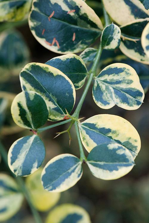 Foliage of variegated Natal plum (Carissa macrocarpa 'Variegata'), glasshouse, early February.