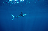 Striped marlin, Tetrapturus audax, is found in tropical oceans worldwide . Streamlined for a life in the open ocean, these fish are a prized commercial species, Mexico