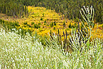 Wildflowers blooming along Dalton Hwy. Fall colored tundra in the background. Arctic Alaska, Autumn.