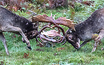 Fallow deer rutting in the New Forest by Keith Elcombe