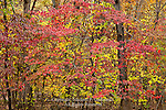 Dogwood in autumn, Green Lane Park; Montogmery County, Pennsylvania