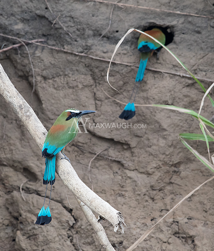 Motmots visit a potential nest hole in the side of a riverbank.