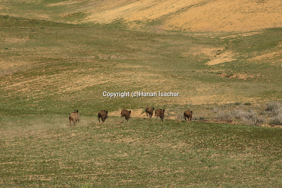 Israel, Northern Negev, Wild Pigs at Bitronot Ruhama in Besor region