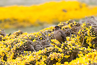 Austral Thrush in the Gorse Bushes of the Falkland Islands
