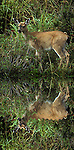 Sitka whitetail deer