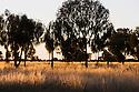 Australia, Northern Territory, Uluru-Kata Tjuta National Park; desert oaks in grassland.