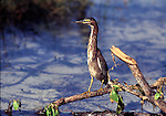 green-backed heron in wetland