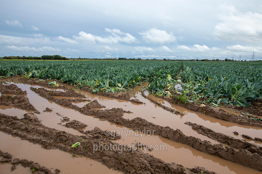 Cauliflower headlands flooded due to heavy rainfall - Lincolnshire, October