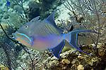 Balistes vetula, Queen triggerfish, Bahamas