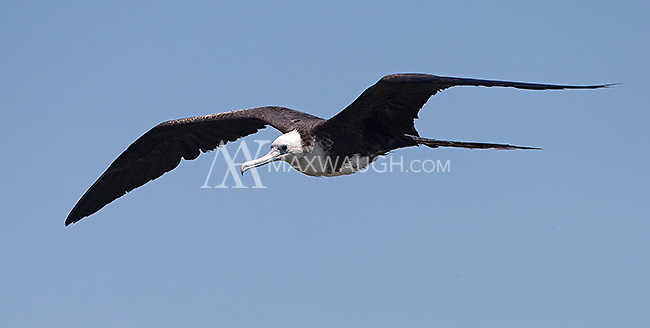Magnificent frigatebirds were circling near the mouth of the Rio Tarcoles.