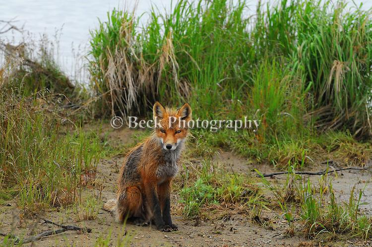 Alaska Red fox
