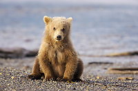 BooBoo, Lady Hook's spring cub, Hallo Bay. Kodiak grizzly bear (Ursus arctos middendorffi), Hallo Bay