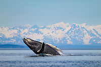 Humpback whale breaches, Chugach mountains, Montague straits, Prince William Sound, Alaska