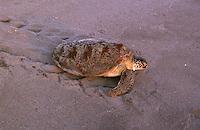Marine Turtles